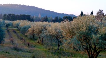 Provence Olive trees at first light
