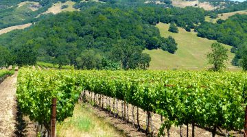 Napa Valley vineyards, California, USA