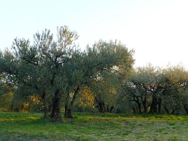 Olive trees under the Alpilles on route to Les Baux-de-Provence