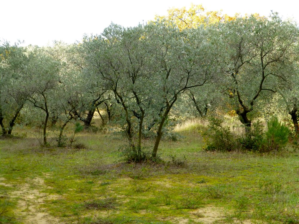 Olive Trees In Lourmarin, Provence, France