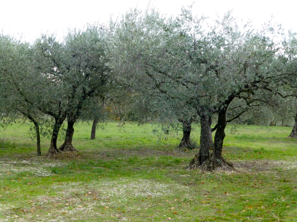 Olive groves near Lourmarin, Provence, France