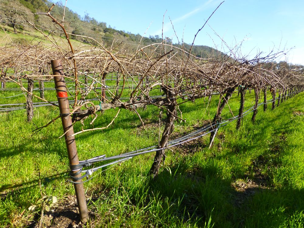 Napa Valley vines in January