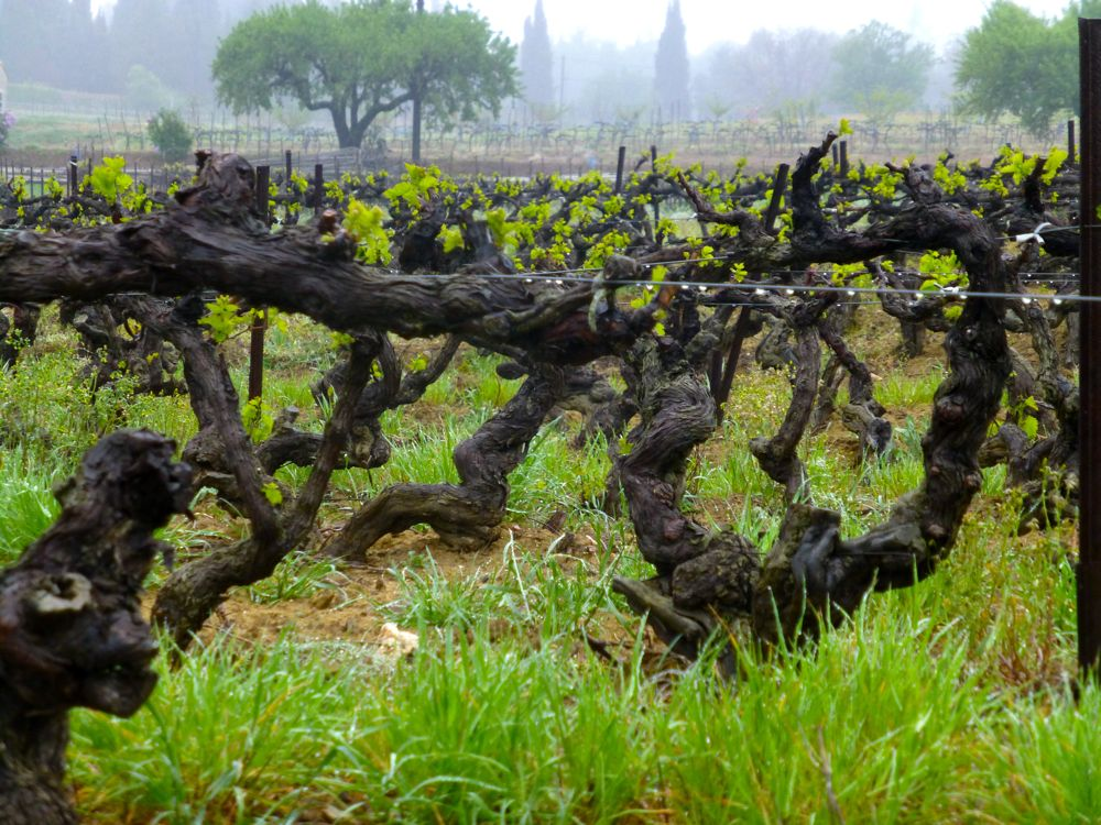 Lourmarin Vines in April rain, Luberon, Provence