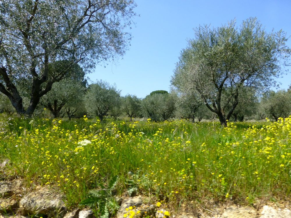 Olives trees, Lourmarin, Luberon, Provence, France