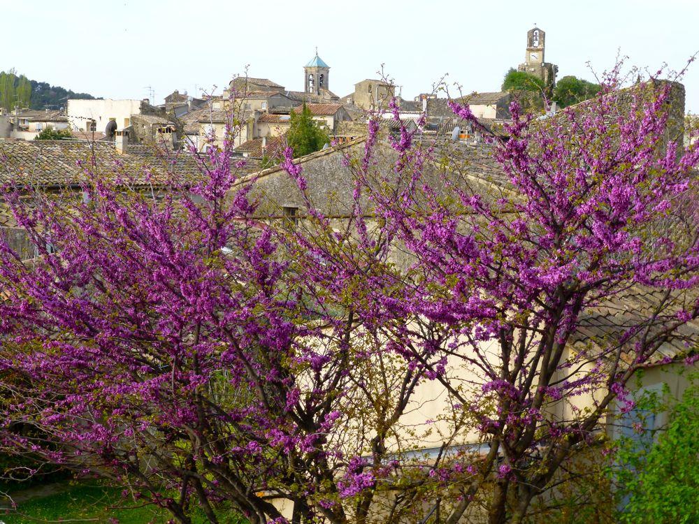 Pomegranate blossoms Lourmarin