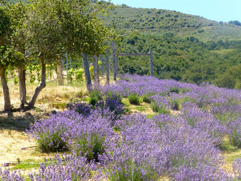 California Lavender in Carmel