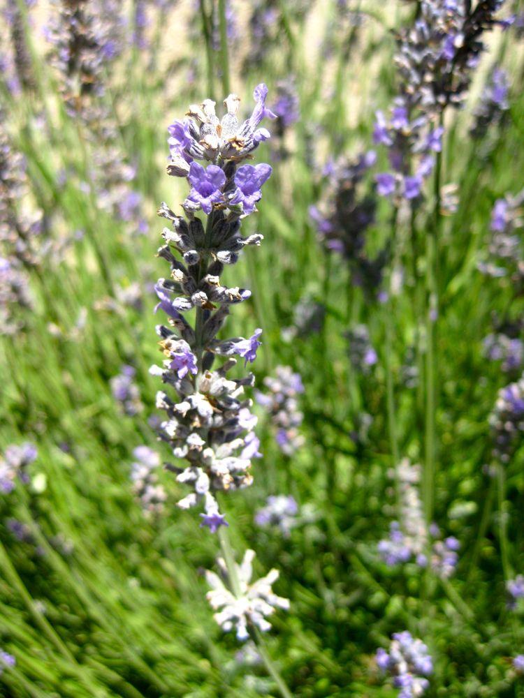 Lavenders in California