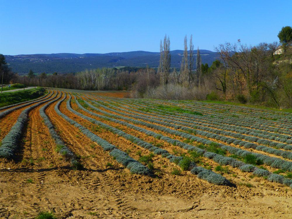 Luberon lavender fields near Gordes
