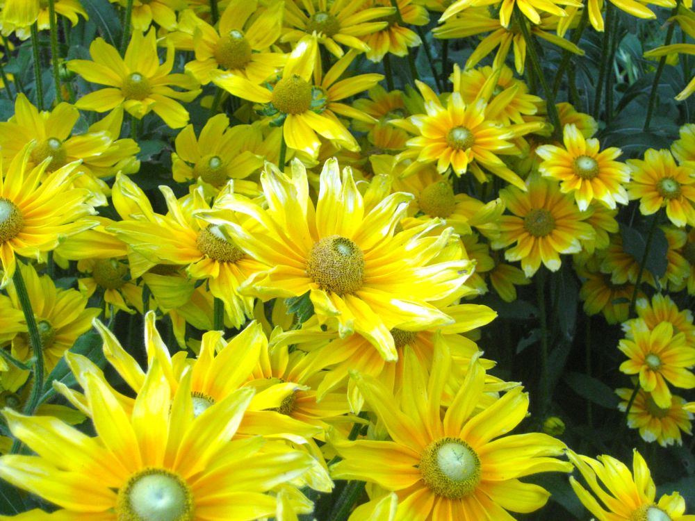Profusion of yellow Californian flowers!