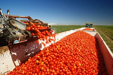 tomato harvest in California, canning tomatoes being dumped into the white bins