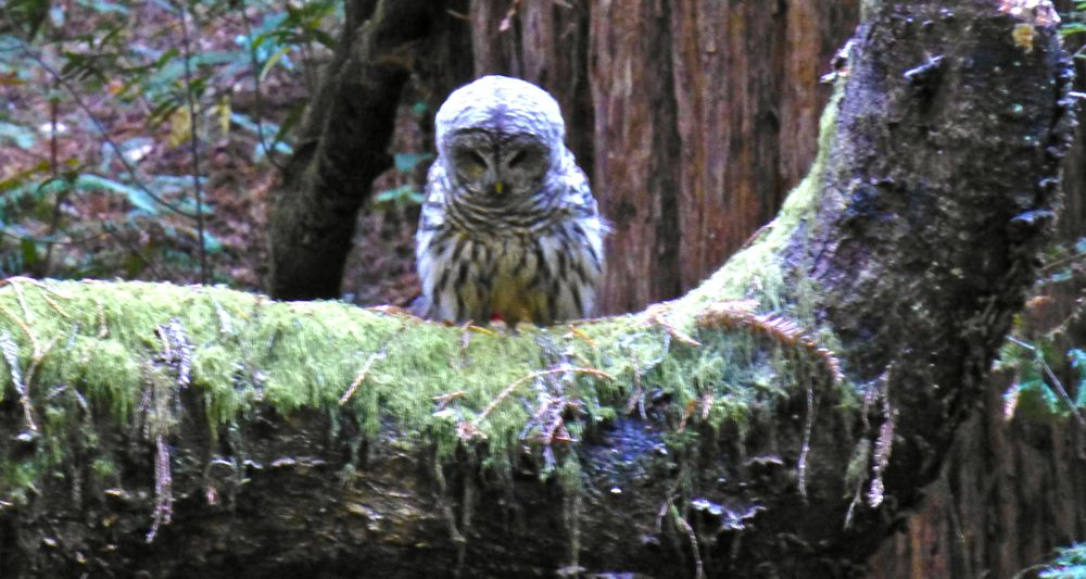 A Muir Woods Owl greeting her admirers! Muir Woods north of San Francisco California