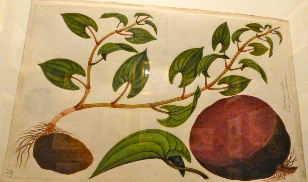 Farquhar's naturalist drawings from Melaka