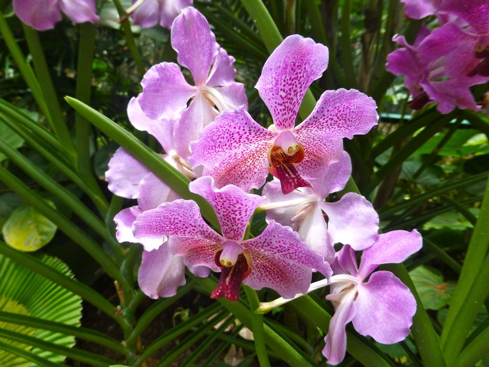 Pink Orchids, Singapore Botanical Gardens