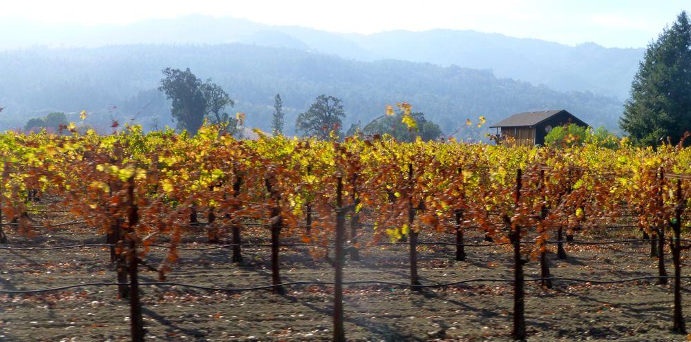 Californian Napa Valley vines in November