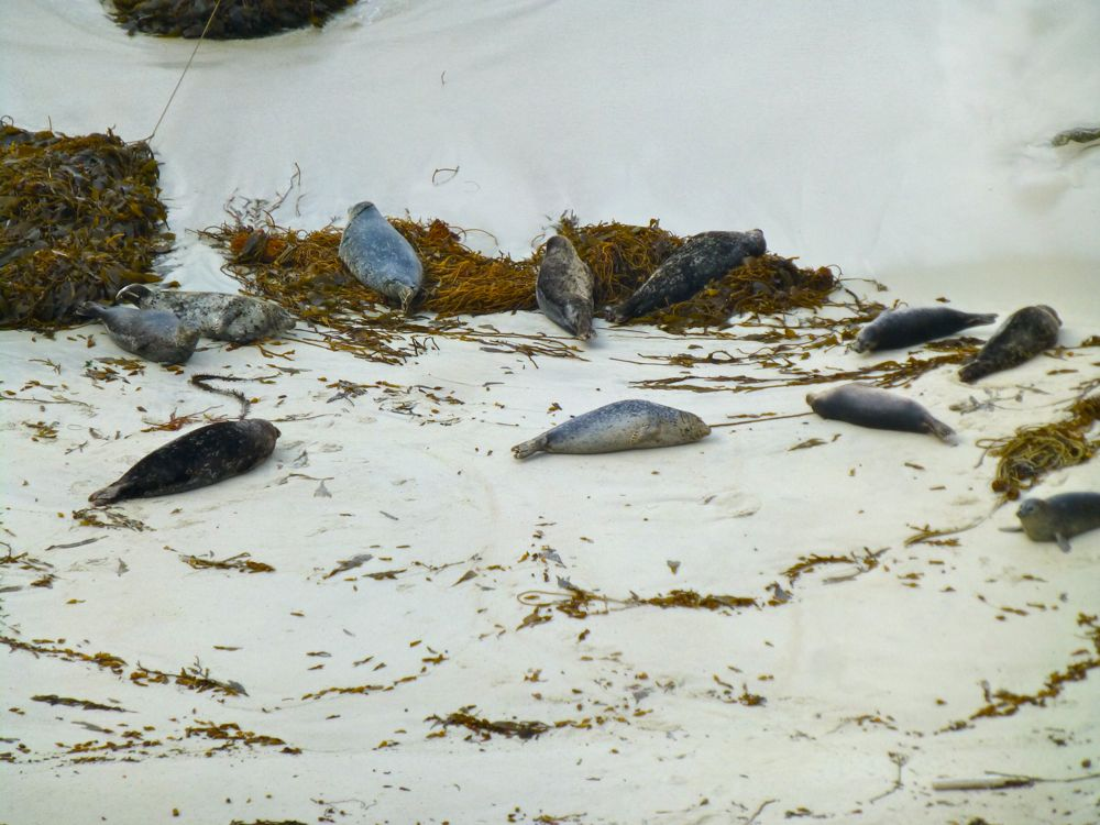 Baby seals on beach near Bird Island Point Lobos Carmel. California, USA