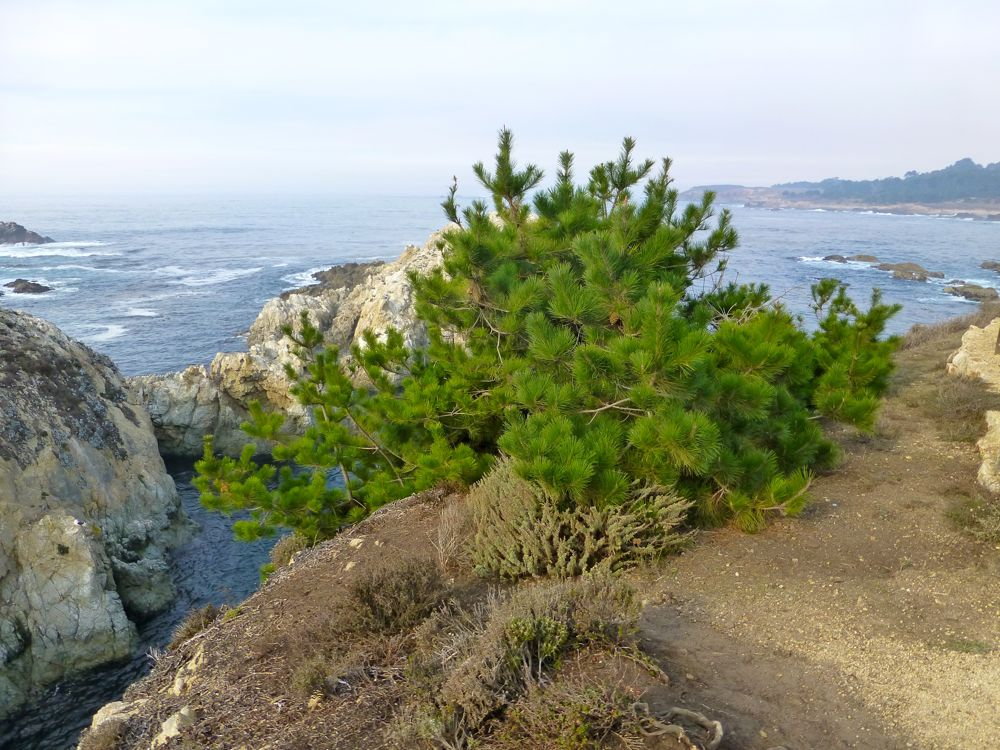 Christmas tree at Bird Island Point Lobos Carmel. California, USA