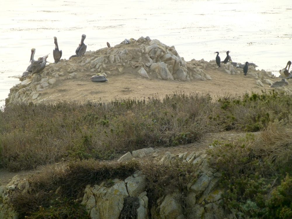 Pelicans & cormorants Bird Island Point Lobos Carmel on Bird Island Point Lobos Carmel. California, USA