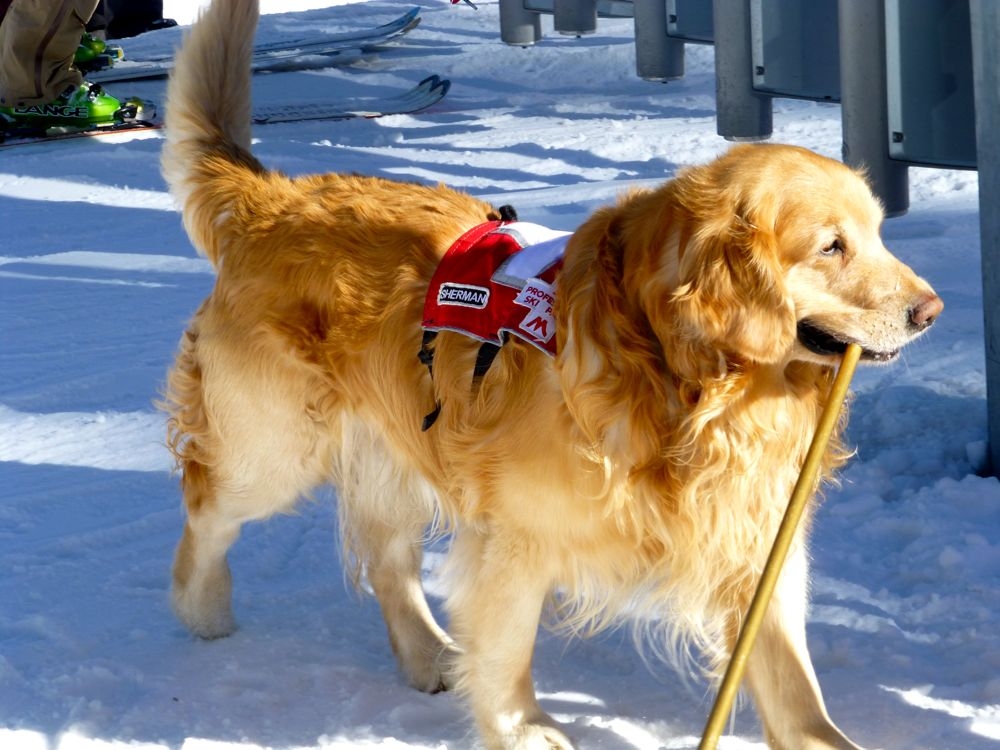 A Ski Rescue Dog at Alpine Meadows, Lake Tahoe, California, USA
