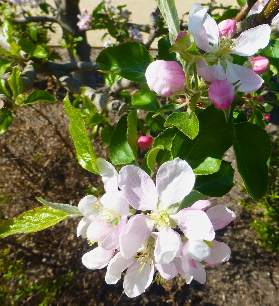 Blossoms in Napa Valley, California