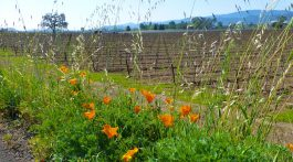 Napa Vineyards & spring California Poppies, Napa Valley, California. USA