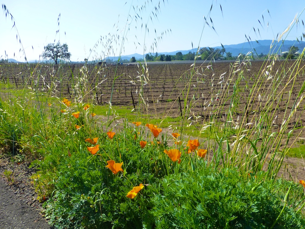 Napa Vineyards & spring California Poppies