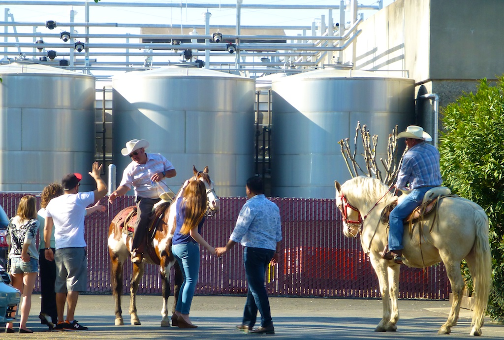 Cow boys outside BV winery Napa Valley
