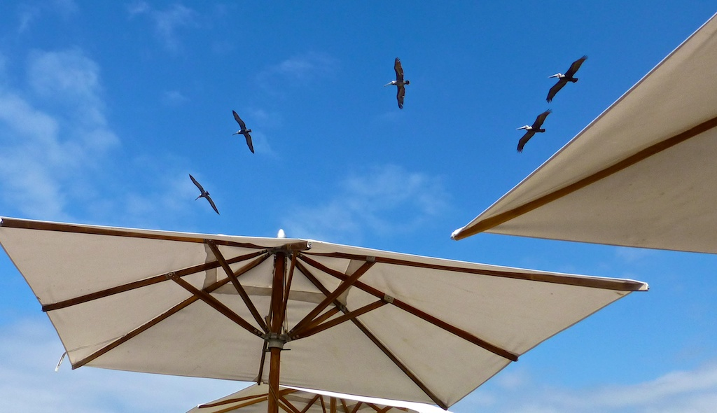 The pelicans at The Ritz Carlton, Dana Point, California