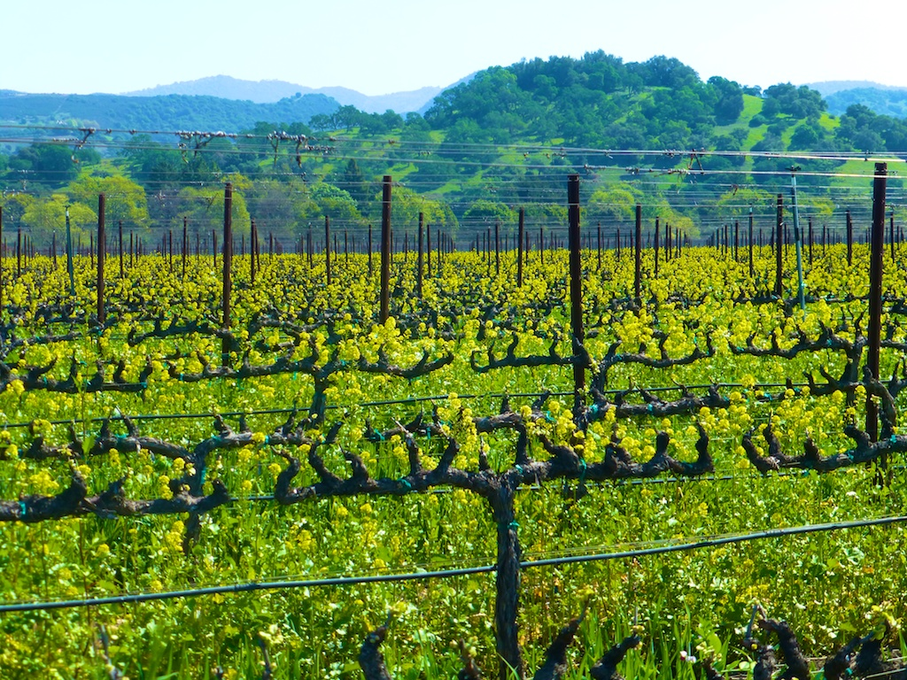 The vines of Napa's Silver Oak