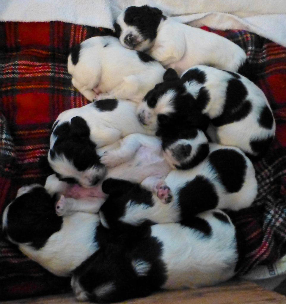 Rosie's Springer Spaniel puppies in England