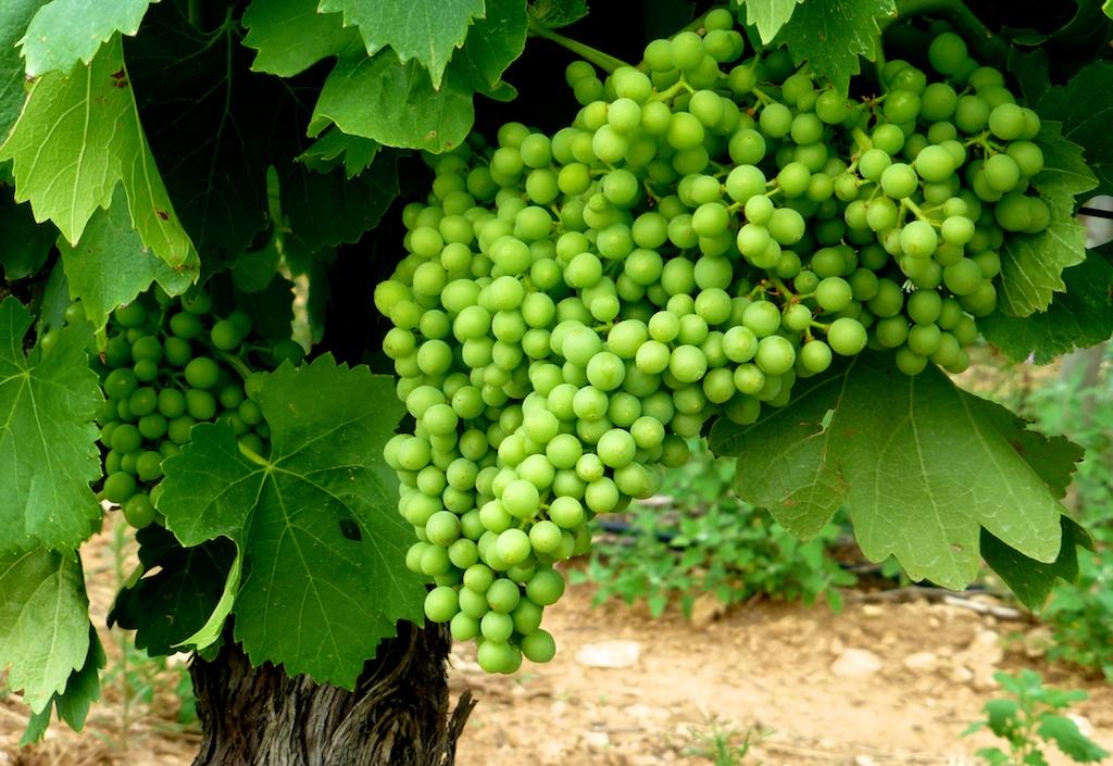Vines at Aquaduc D'Uzes, Uzes, Languedoc Rousillon, France