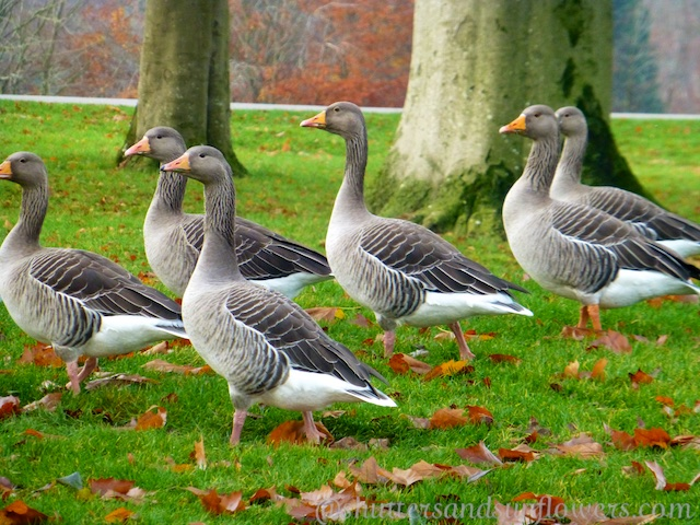 Geese at Blenheim Palace, Woodstock, England