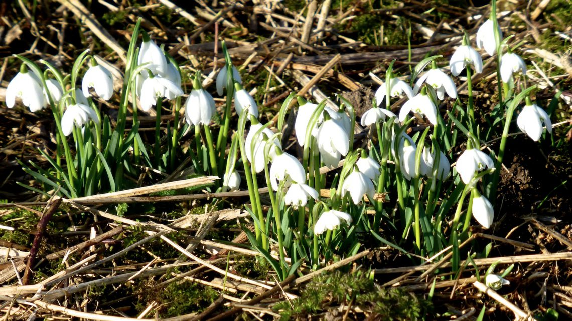 Snowdrops in England