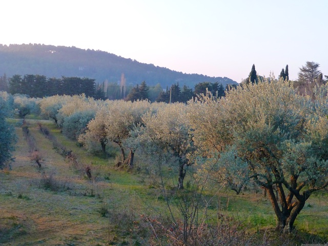 The Lourmarin Château, Olive trees at first light in Lourmarin, Luberon, Provence