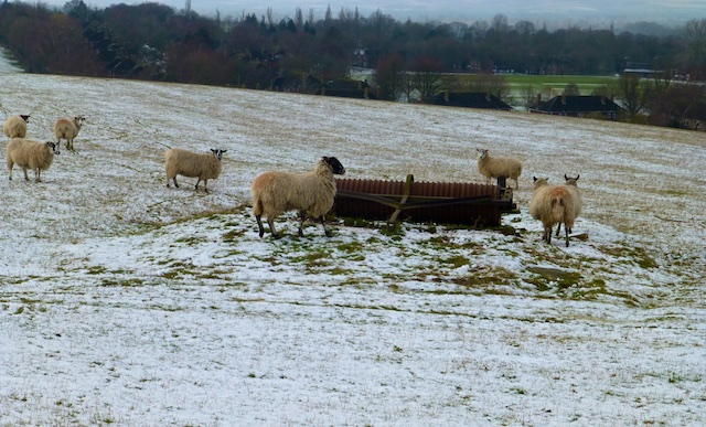 Sheep in a Ewelme field, Oxfordshire, England