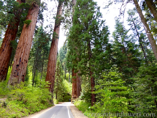 Driving through the Sequoia forest inSequoia National Park, California, USA