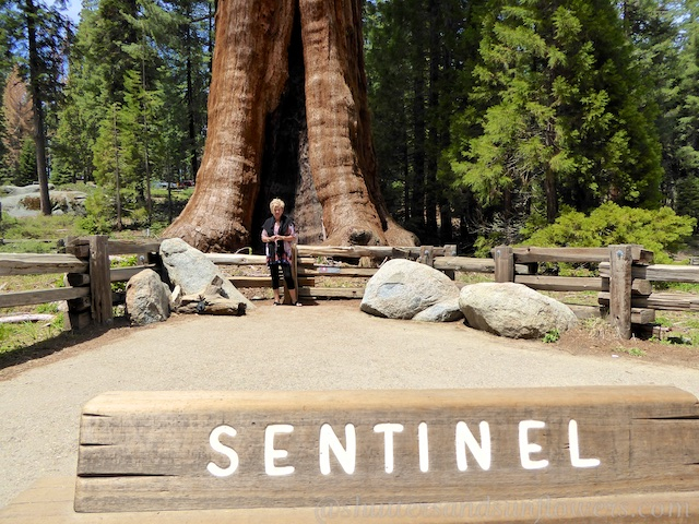 At the foot of the Sentinel Sequoia tree,Sequoia National Park, California, USA