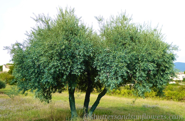 Olive trees, Lourmarin in the Luberon Valley, Vaucluse, Provence, France