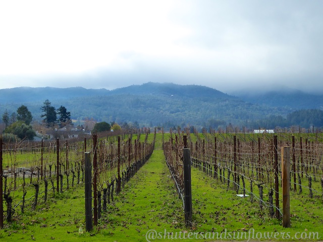 Napa Valley vines near St Helena, California