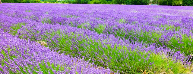 Lavender fields of the Luberon, Luberon Valley, Vaulcuse, Provence, France