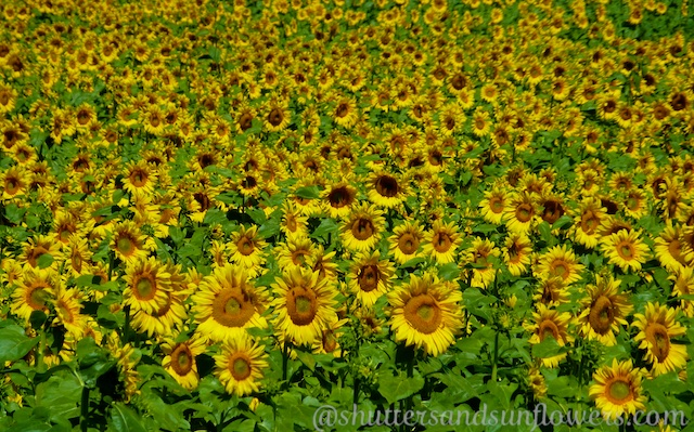 Californian fields of Sunflowers