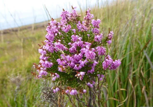 Islay heather, Scotland