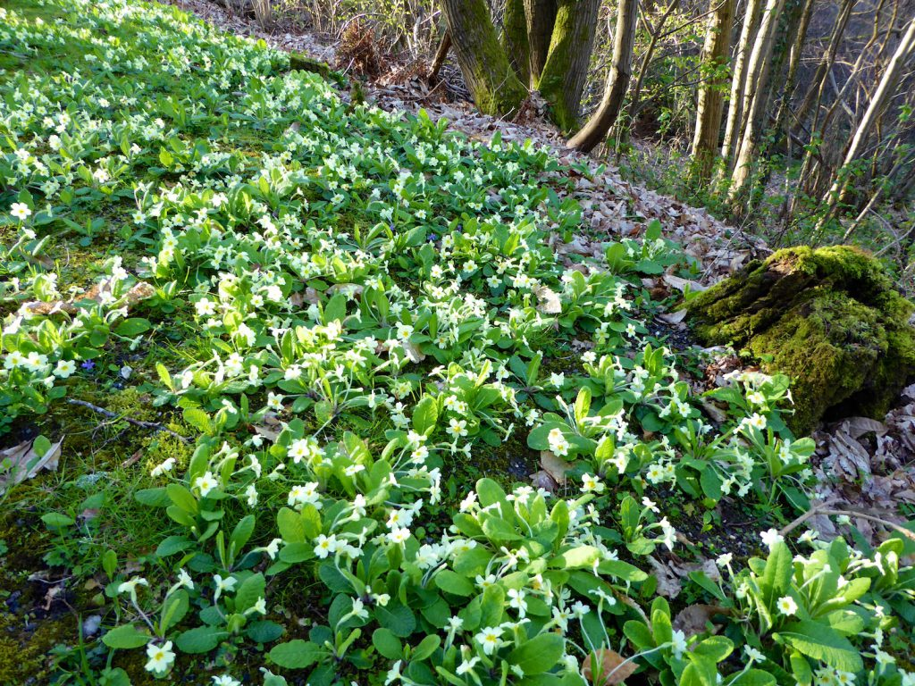 Springtime in England, banks of primroses
