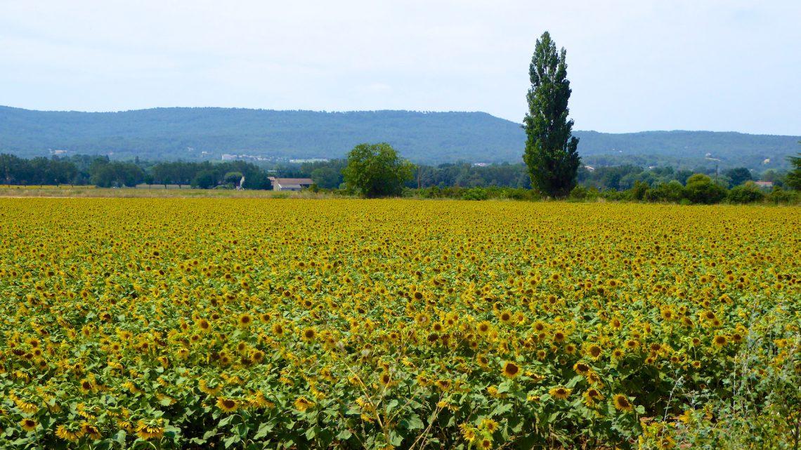 The Sunflower Field World War II Novel set in Provence