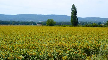 The Sunflower Field World War II Novel set in Provence