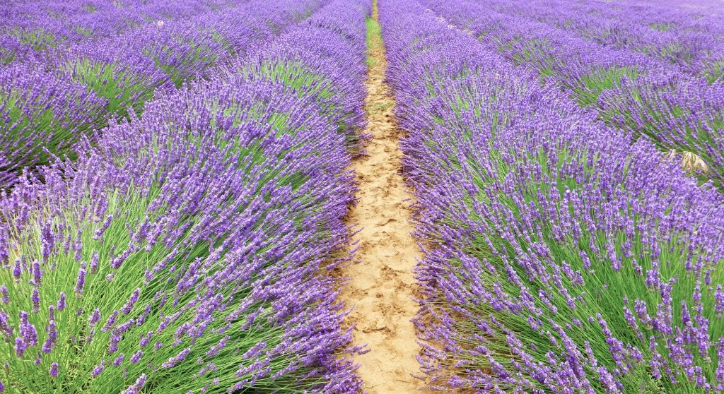 Lavender fields in the Luberon, Provence for La Masion FRANC's lavbeder wands and boules