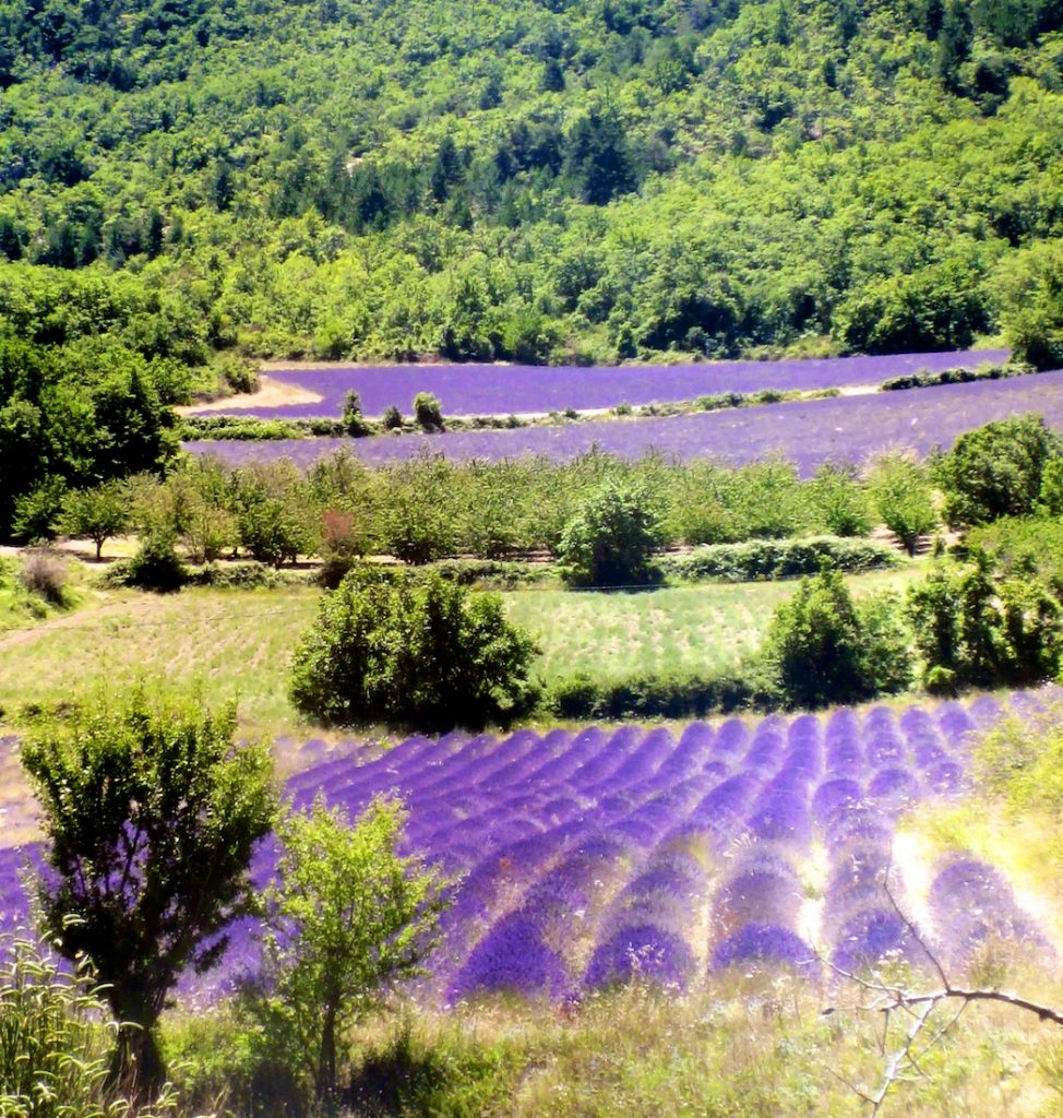 Luberon Lavender fields of Provence grown for La Masion FRANC's lavbeder wands and boules
