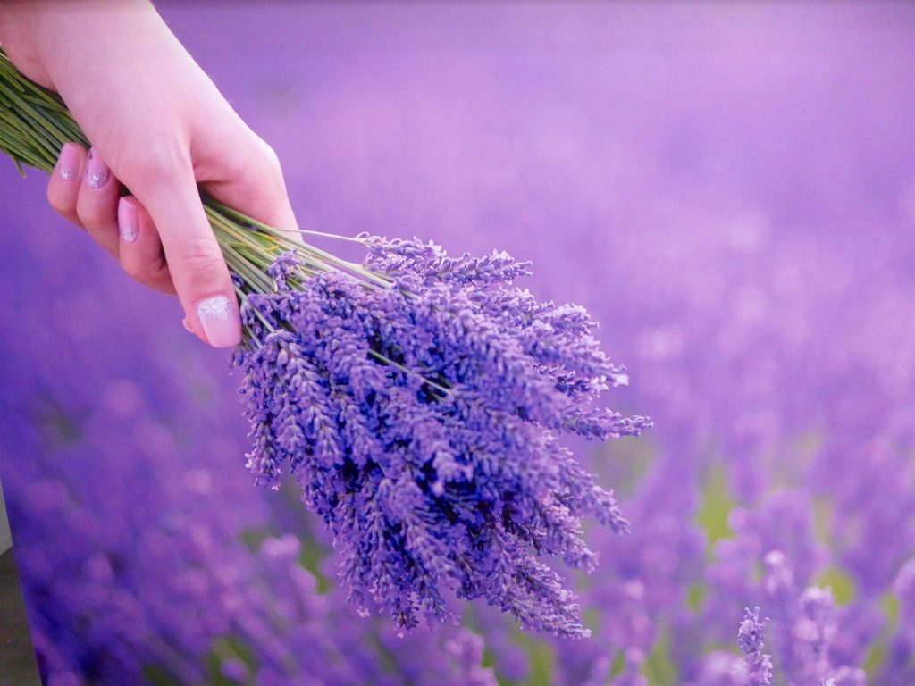 Provencal Lavender bunches from the Luberon, Luberon, Vaucluse, Provence, France