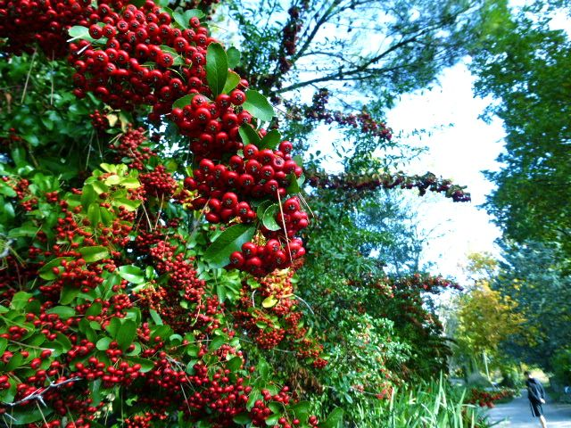 Autumn berries in the Luberon Valley, Vaucluse, Provence, France