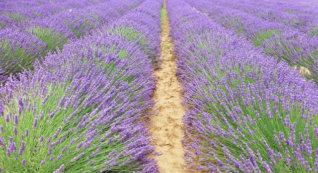 Lavender of Provence, near Bonnieux, Luberon Valley