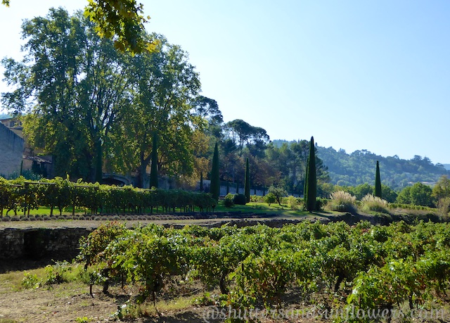 Vines at Chateau Canorgue, Bonnieux, Luberon, France
